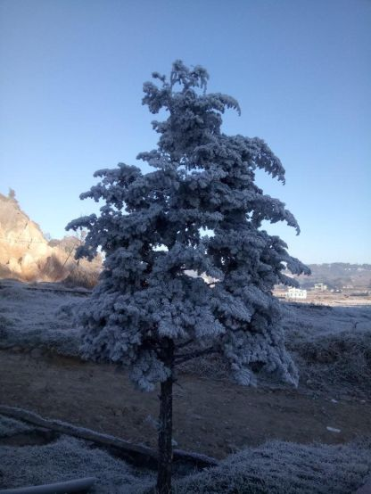 Pic 2: Frost covered Pine tree