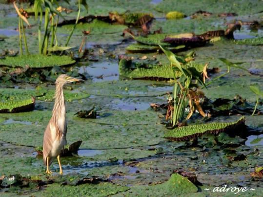 Bird 1 - Pond Heron