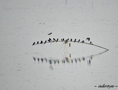 Bird - Barn Swallows