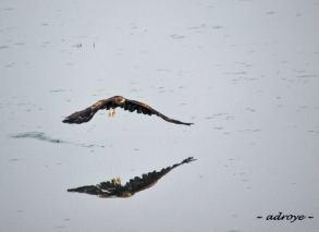 Bird - Black Kite